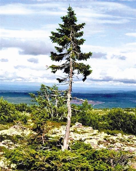 1棵9500岁的树仍在生长 或来自冰河世纪时期